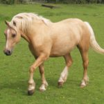 Un caballo palomino