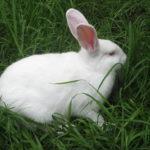 Conejo de color blanco y ojos rojos