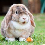 Un conejo comiéndose una zanahoria