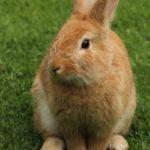 Conejo color canela sentado sobre la hierba