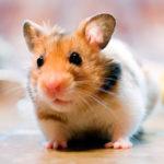 Cuanto vive un hamster