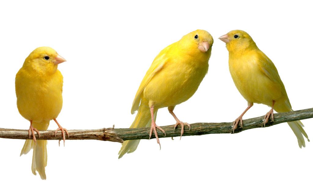 Canarios color amarillento