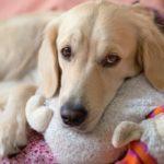Cuánto dura el celo de una perra