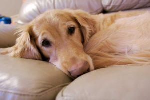 Duración del celo de una perra