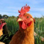 Cuánto vive una gallina