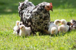 Lugar donde viven las gallinas