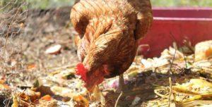 Qué comen las gallinas
