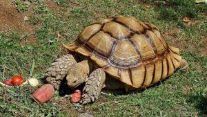 Cuántos años viven las tortugas terrestres