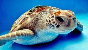 La tortuga de agua dulce o doméstica