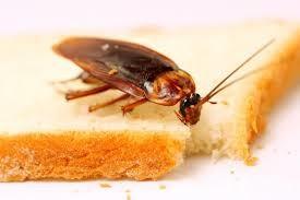 Descripción de las cucarachas