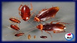 Reproducción de las cucarachas