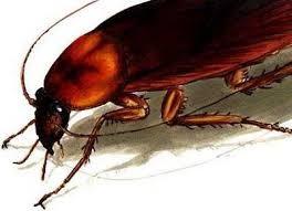 Las cucarachas hembras