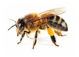Qué es la abeja