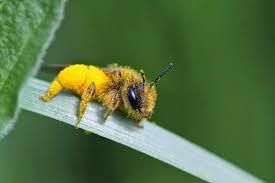 Años que duran las abejas