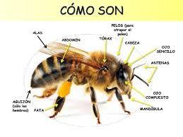 Cómo son las abejas