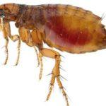 Cuánto vive una pulga