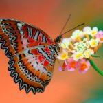 Cuánto vive una mariposa