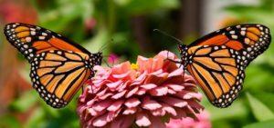 Huevos que deja la mariposa