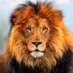 Cuánto vive un león