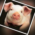 Cuánto vive un cerdo