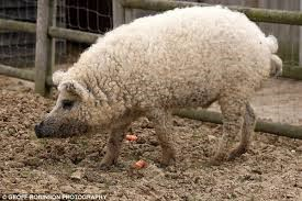 Alimentación de un cerdo