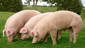 Dieta de un cerdo