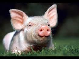 La explotación de los cerdos