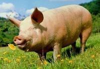 Utilización de los cerdos