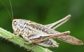 Insectos ortópteros