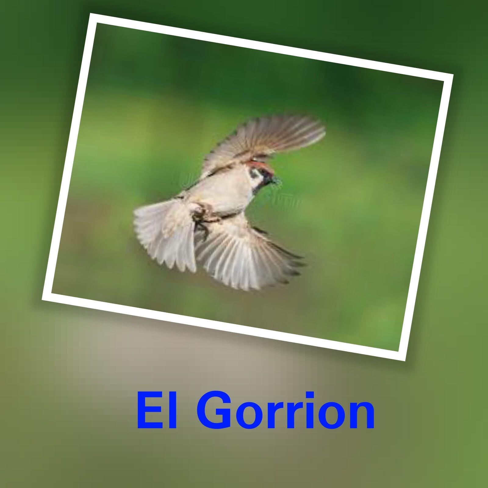 Gorrión