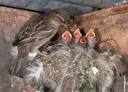 Reproducción de los gorriones