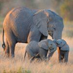 Cuánto vive un elefante