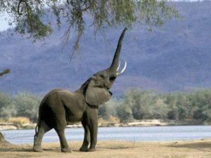 Periodo de vida de los elefantes