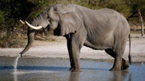 La esperanza de vida de los elefantes