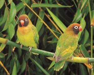 Especie hermosa de aves