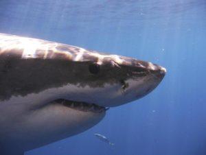 Adaptabilidad de los tiburones