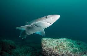 Esperanza de vida de los tiburones