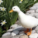 Cuánto vive un pato