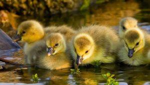 Crías de patos