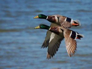 ¿Cuántos pesan los patos?