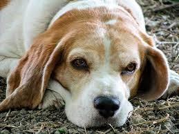 Costo de castrar a un perro en España