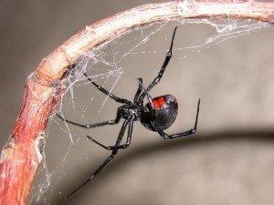 Dieta de las arañas