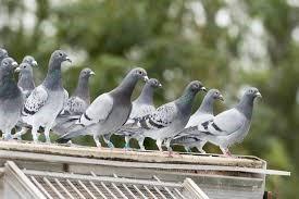 Hábitat de las palomas