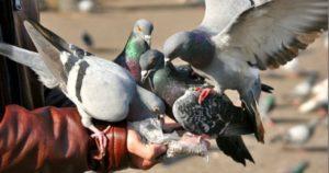 Alimentación de las palomas
