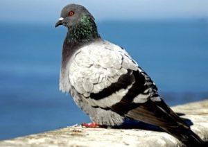 Características de las palomas