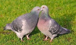 Peso de las palomas