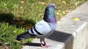 Las palomas y las enfermedades