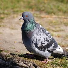Enfermedad que producen las palomas