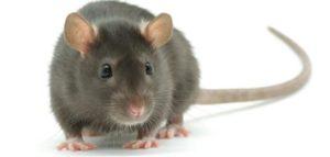 Qué son las ratas