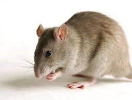 Especies de ratas
